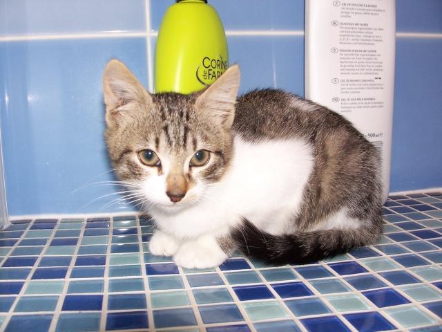 JAzz, chatonne seal point de 3 mois environ et son frère Ravel, petit chaton tigré et blanc de 3 mois Ravel_10