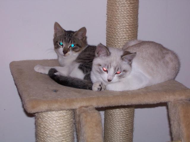 JAzz, chatonne seal point de 3 mois environ et son frère Ravel, petit chaton tigré et blanc de 3 mois Rj_sur11