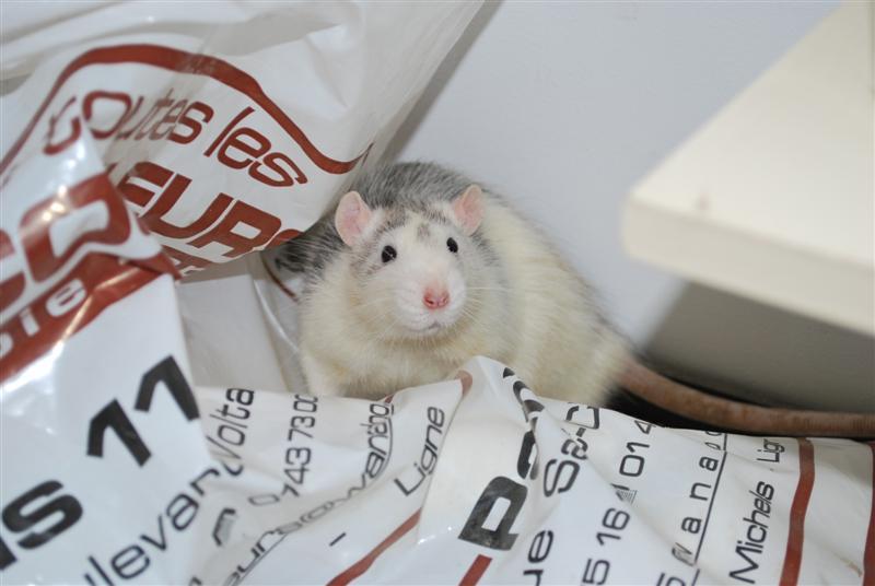 BRAD (rat) refuge FREE 77 Brad10