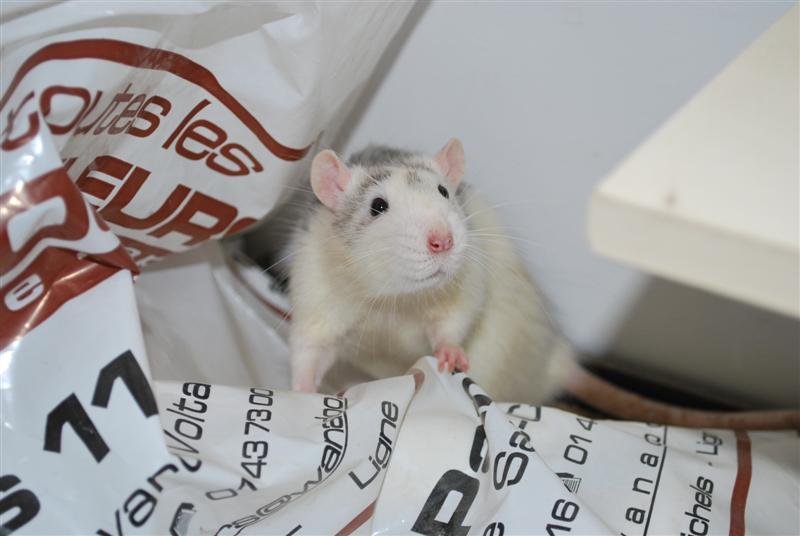 BRAD (rat) refuge FREE 77 Brad_110