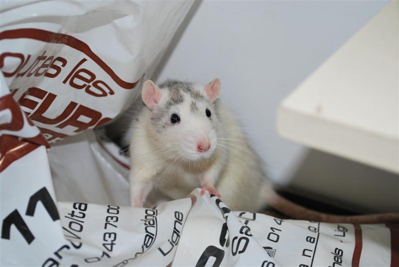 BRAD (rat) refuge FREE 77 Brad_210