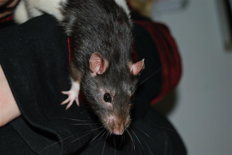 Durex (rat) refuge FREE Durex810