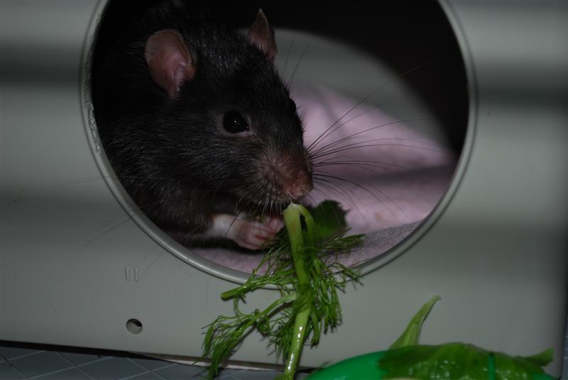 Durex (rat) refuge FREE Durex_14