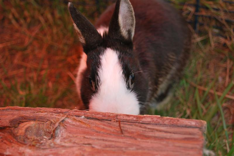 Full Tommy et Little (lapins) refuge FREE 77 Tommy_10