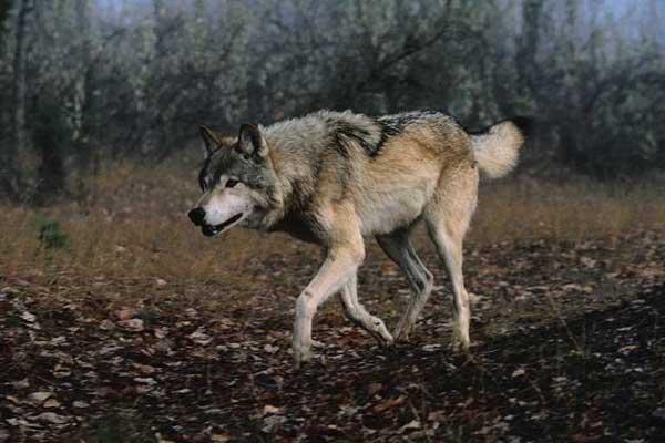 Votre animal préferé Loup_010