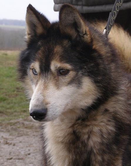 NIPP Mâle husky association TAIGA 011l11