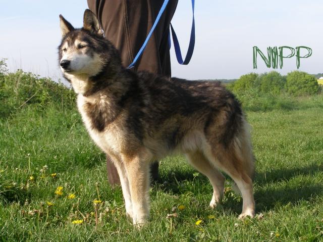 NIPP Mâle husky association TAIGA Nipp0212