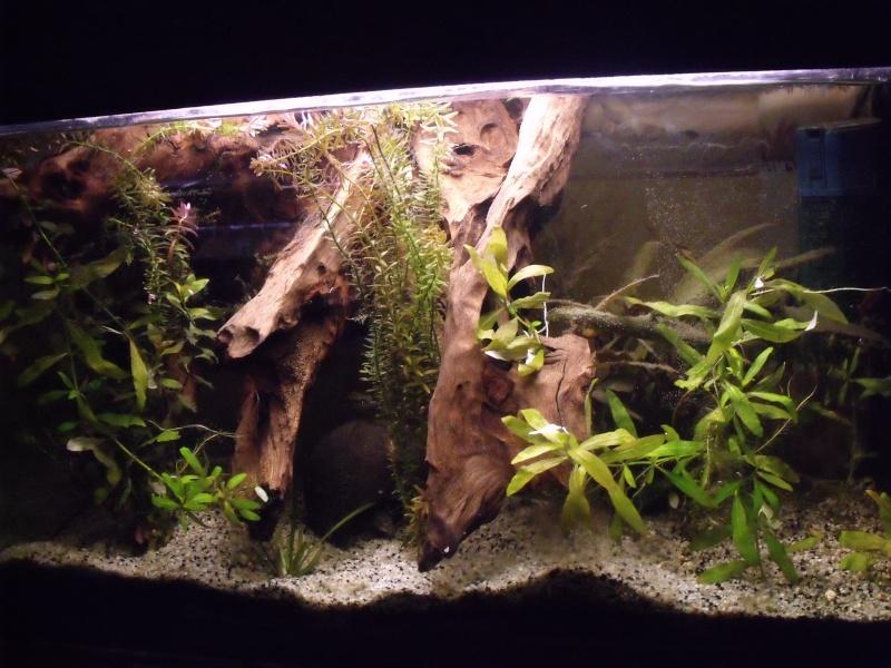 70 litres Pelvicachromis Pulcher Dscf0711