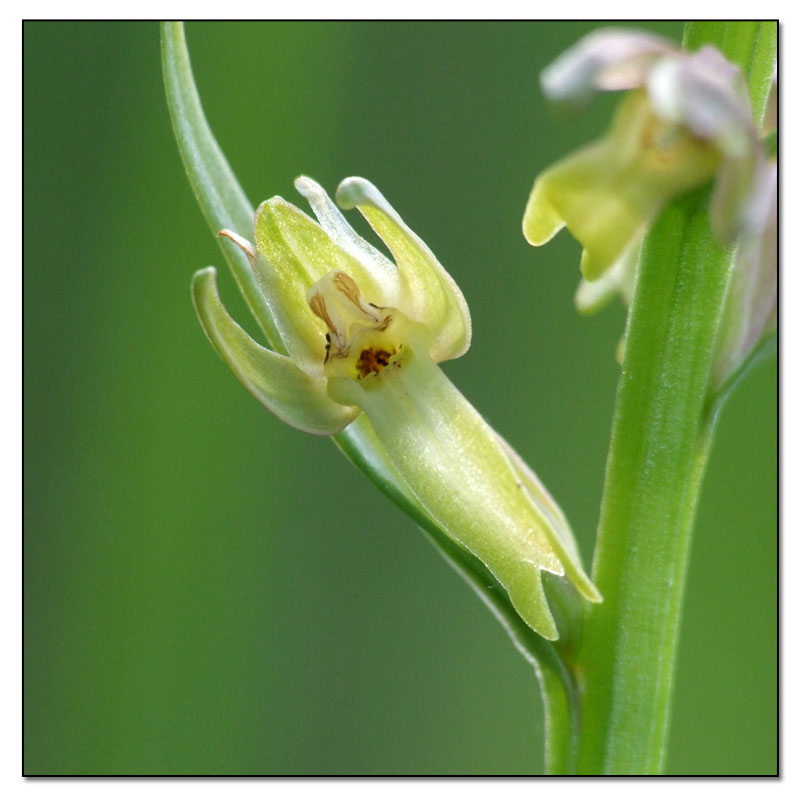 Dactylorhiza viridis( Orchis grenouille ) Coelog16
