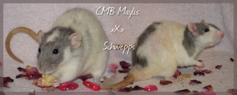 CMB Maylïs xXx Schwepps [bleu russe, rex, lisse, marquages] Couple11
