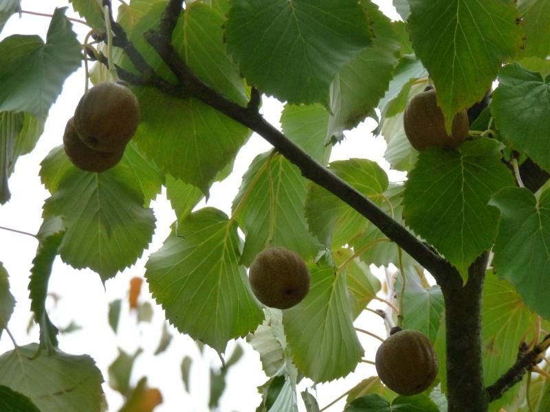 Famille de l'arbre aux mouchoirs Nancy_10
