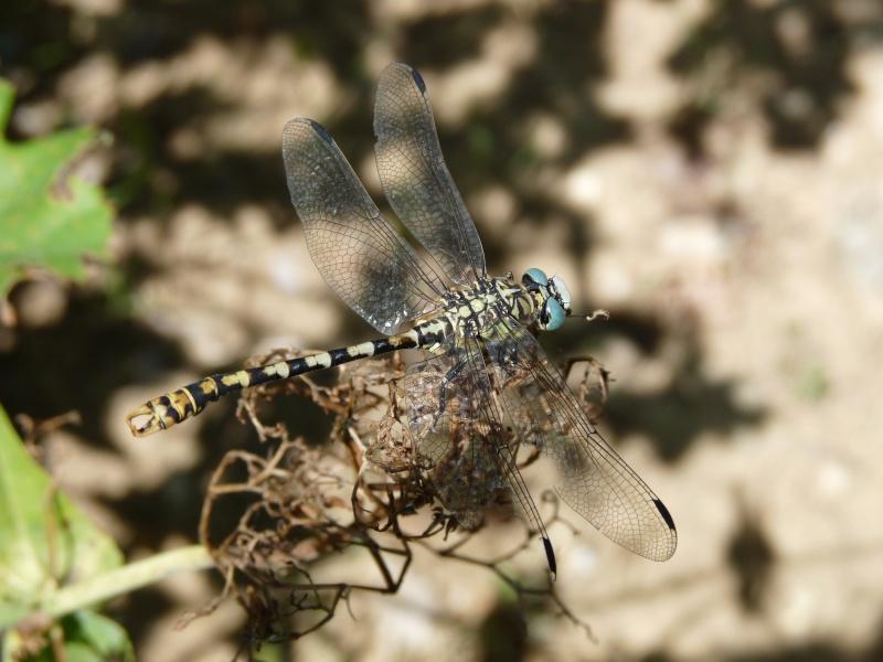 [Onychogomphus forcipatus] libellule pour identification Pont_d10