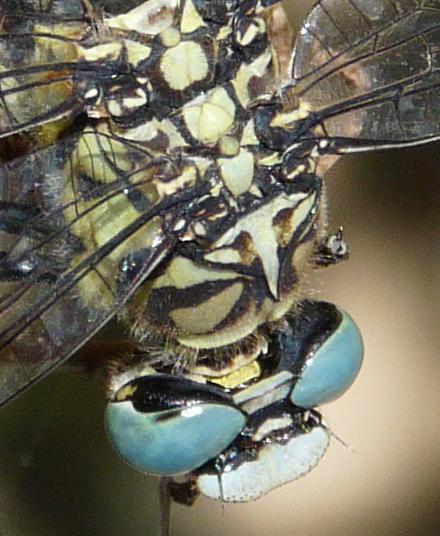 [Onychogomphus forcipatus] libellule pour identification Pont_d11