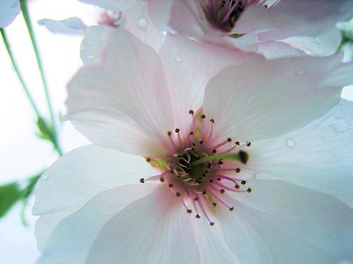 ~*~Sakura~*~ Le Cerisier du Japon 46028410