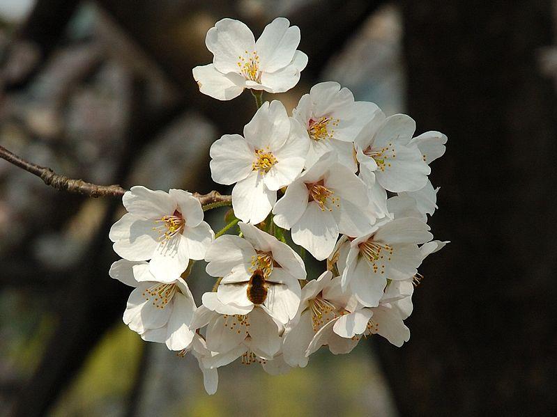 ~*~Sakura~*~ Le Cerisier du Japon 799px-11
