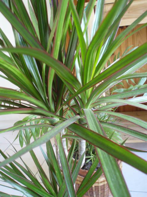 S.O.S Plantes dépolluantes ! Dragon10