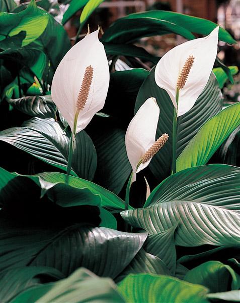 S.O.S Plantes dépolluantes ! Fleur_10