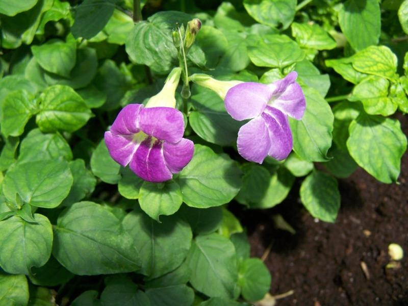 Photos d'acanthaceae du 22 05 09 Asysta10