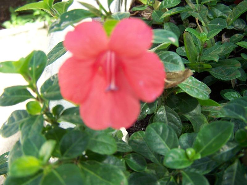 Photos d'acanthaceae du 22 05 09 Barler10