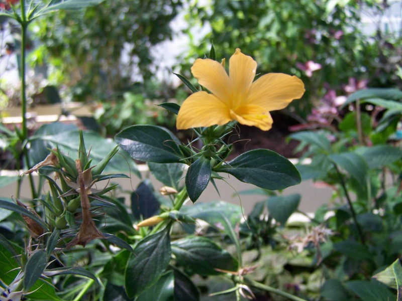 Photos d'acanthaceae du 22 05 09 Barler11
