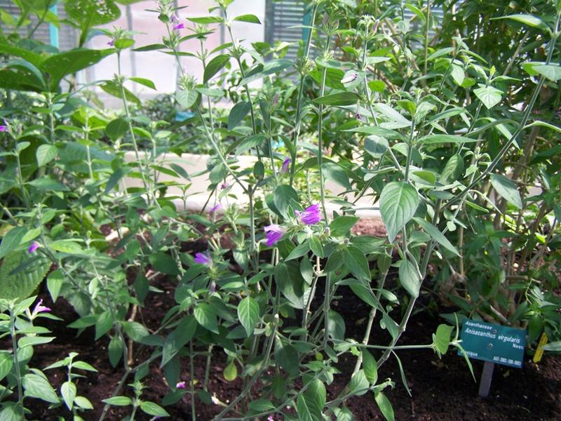 Photos d'acanthaceae du 22 05 09 Justic12