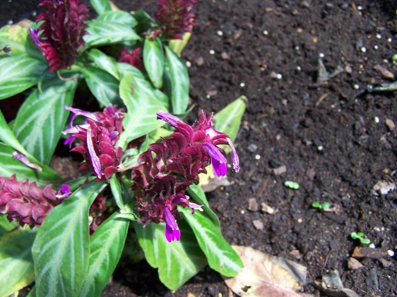 Photos d'acanthaceae du 22 05 09 Justic13