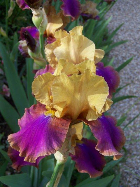 Petit quizz des plantes - Page 15 Iris-j10