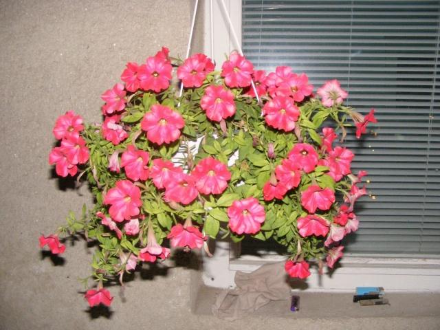 Flori si gradini 2008_014