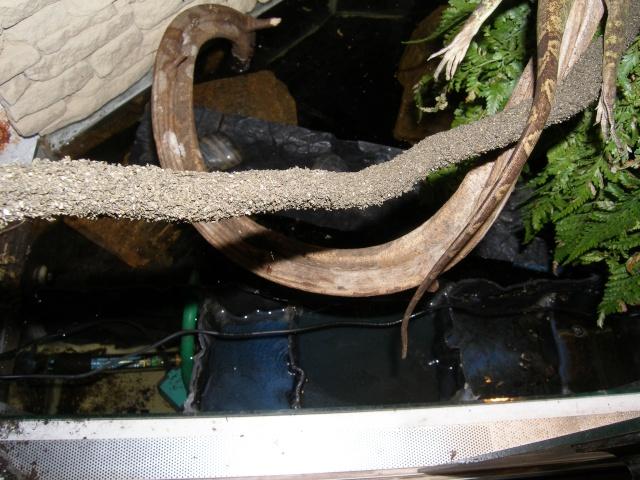 Netoyage d'un bac d'eau pour dragons d'eau P5030011
