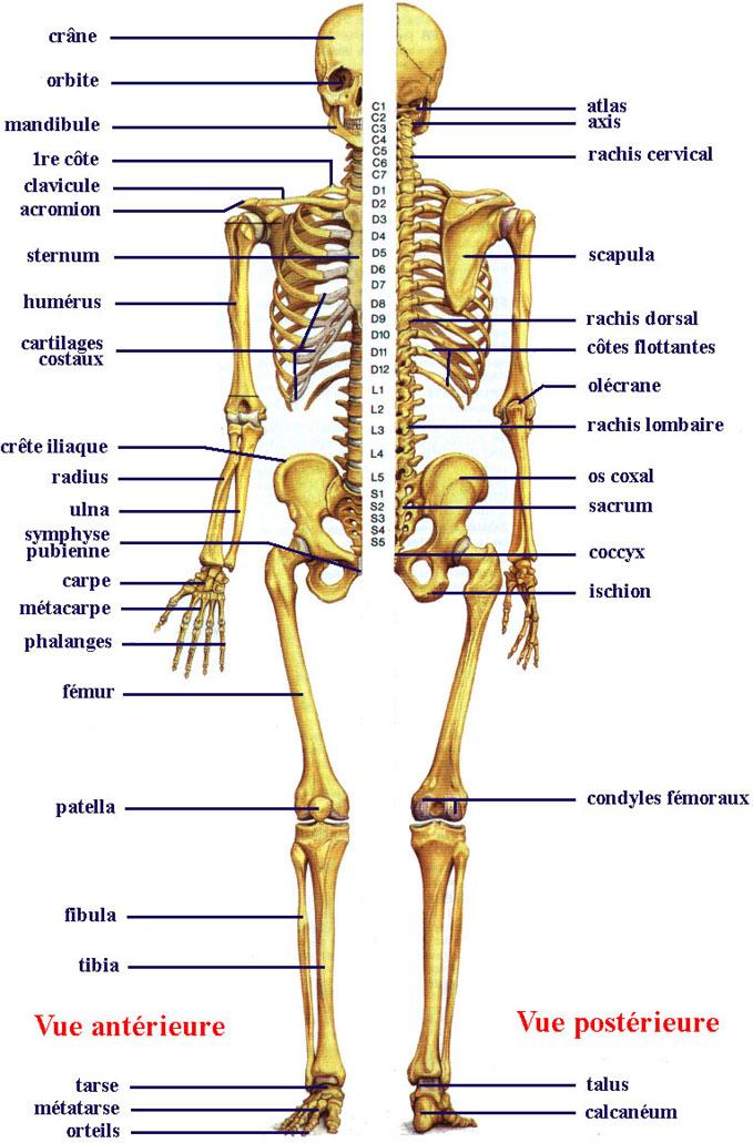 anatomie de squelette Squele12