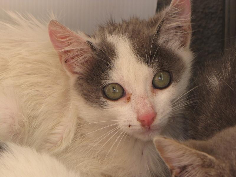 CHARMEUR(chaton blanc et gris) Anew_210