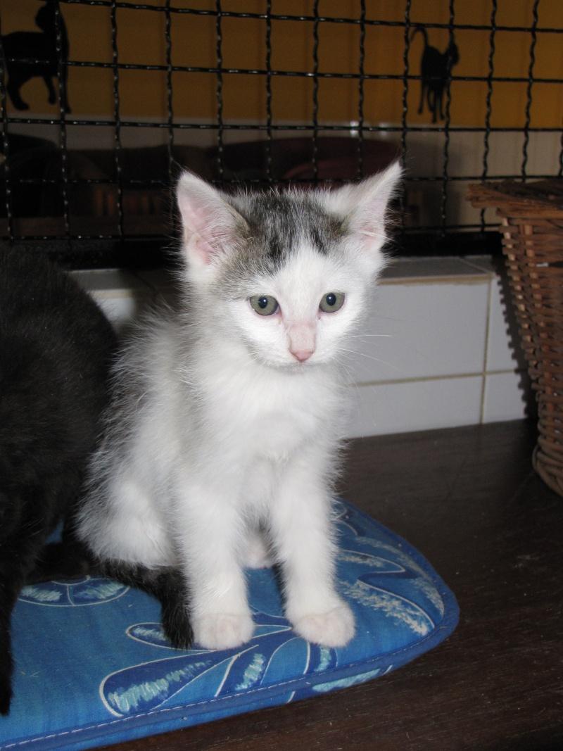 CLEMENTINE(chaton tigré et blanc) Clamen10