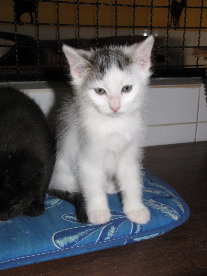 CLEMENTINE(chaton tigré et blanc) Clamen11