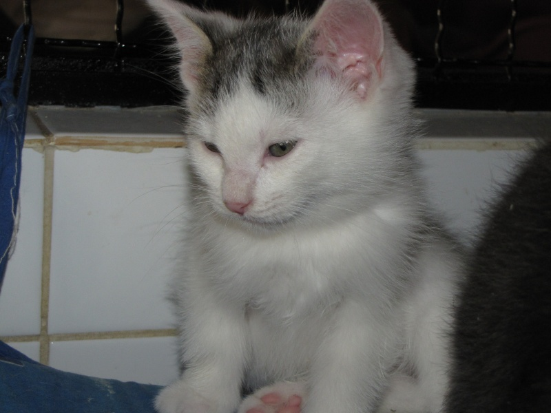 CLEMENTINE(chaton tigré et blanc) Clamen13