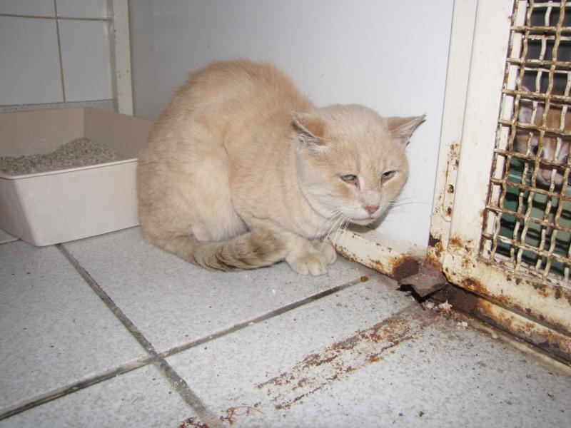 Trouvé à Plauzat, chat croisé Siamois, Flocon Flocon10