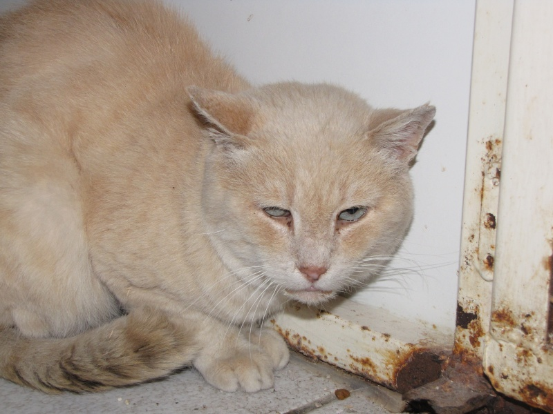 Trouvé à Plauzat, chat croisé Siamois, Flocon Flocon11