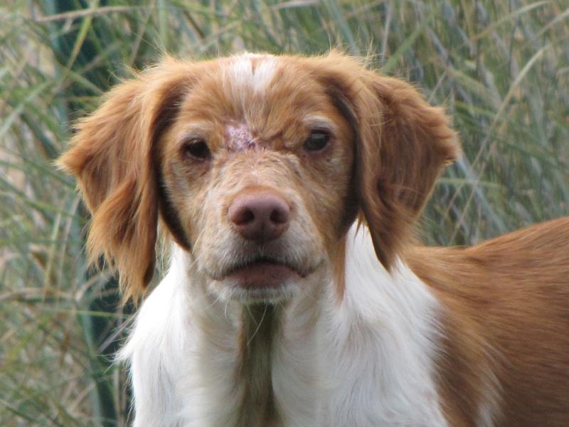 CANDY (épagneul breton femelle) Img_0939