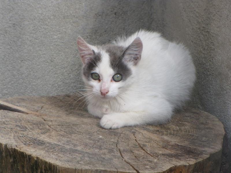 CHARMEUR(chaton blanc et gris) Img_1012