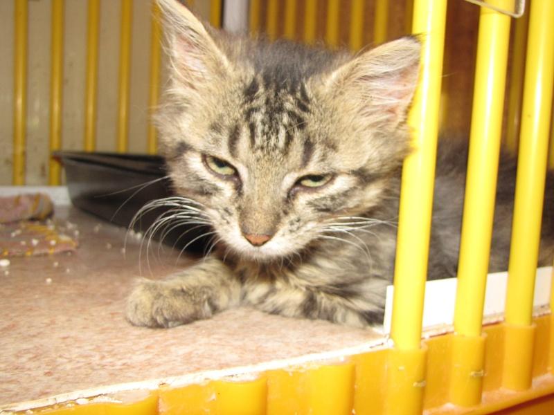 Pim's (chaton tigré gris angora) Img_1633