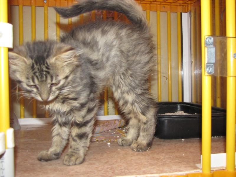 Pim's (chaton tigré gris angora) Img_1634