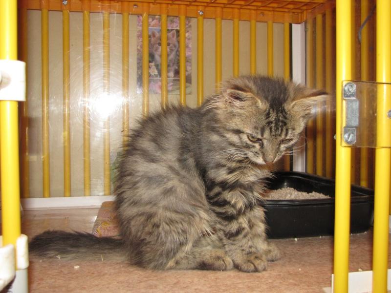 Pim's (chaton tigré gris angora) Img_1636
