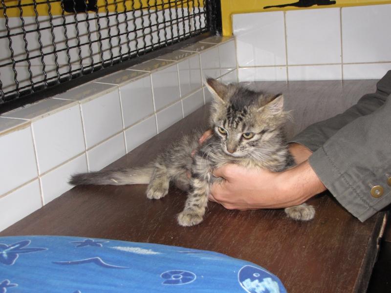 Pim's (chaton tigré gris angora) Img_1735