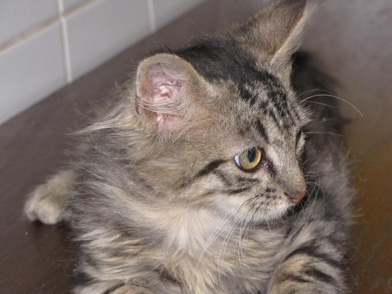Pim's (chaton tigré gris angora) Img_1736
