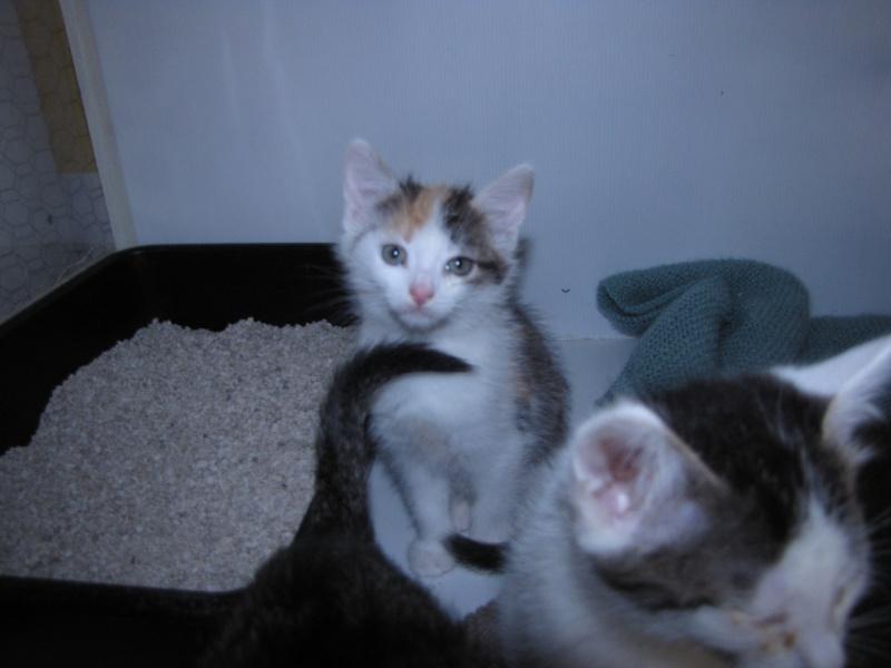 PRALINE  rebaptisée PUNKY (chaton tricolore) Pralin10