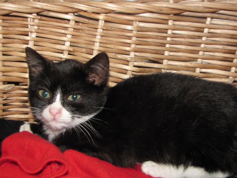 Réglisse (chaton noir et blanc) Raglis10