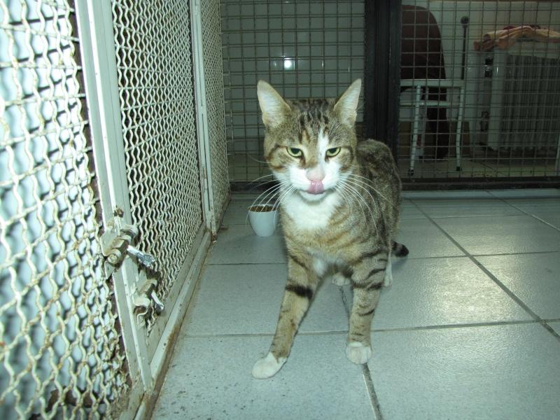 trouvé chat tigré à st germain lembron,SPIROU Spirou11
