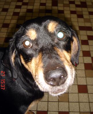 Grosse urgence pour Orki, chien cardiaque de 12 ans (dép57 forbach) Orki1010