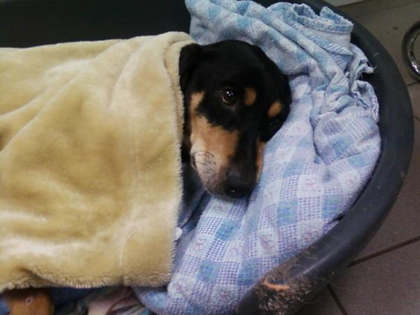 Grosse urgence pour Orki, chien cardiaque de 12 ans (dép57 forbach) Orki_110