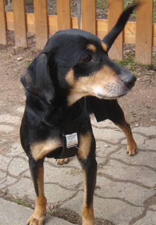 Grosse urgence pour Orki, chien cardiaque de 12 ans (dép57 forbach) Orki_n10