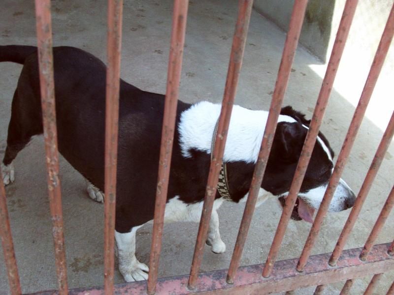 [39] Paco est un vieux pitt Bull de 9 ans Dsc_0157